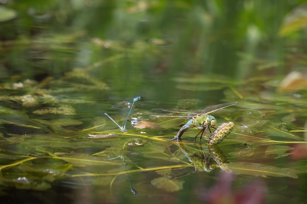Grote keizerlibel legt eitjes in het water