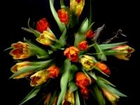 tulpen Jan Hovenier 14-3