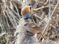Baardman (mannetje en vrouwtje)
